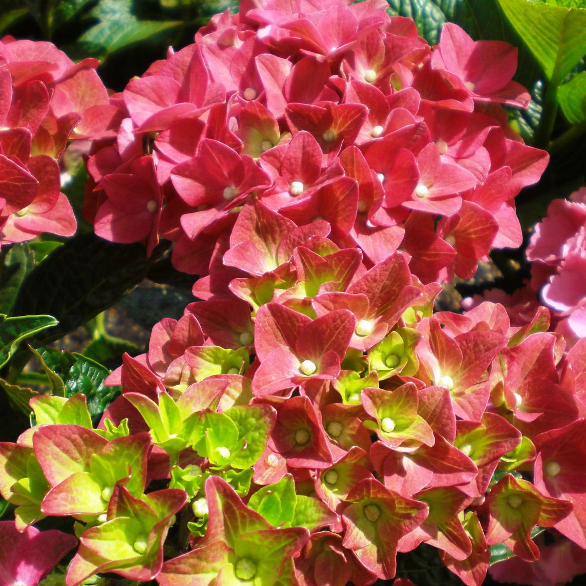 Hydrangea Macrophylla Green Shadow H