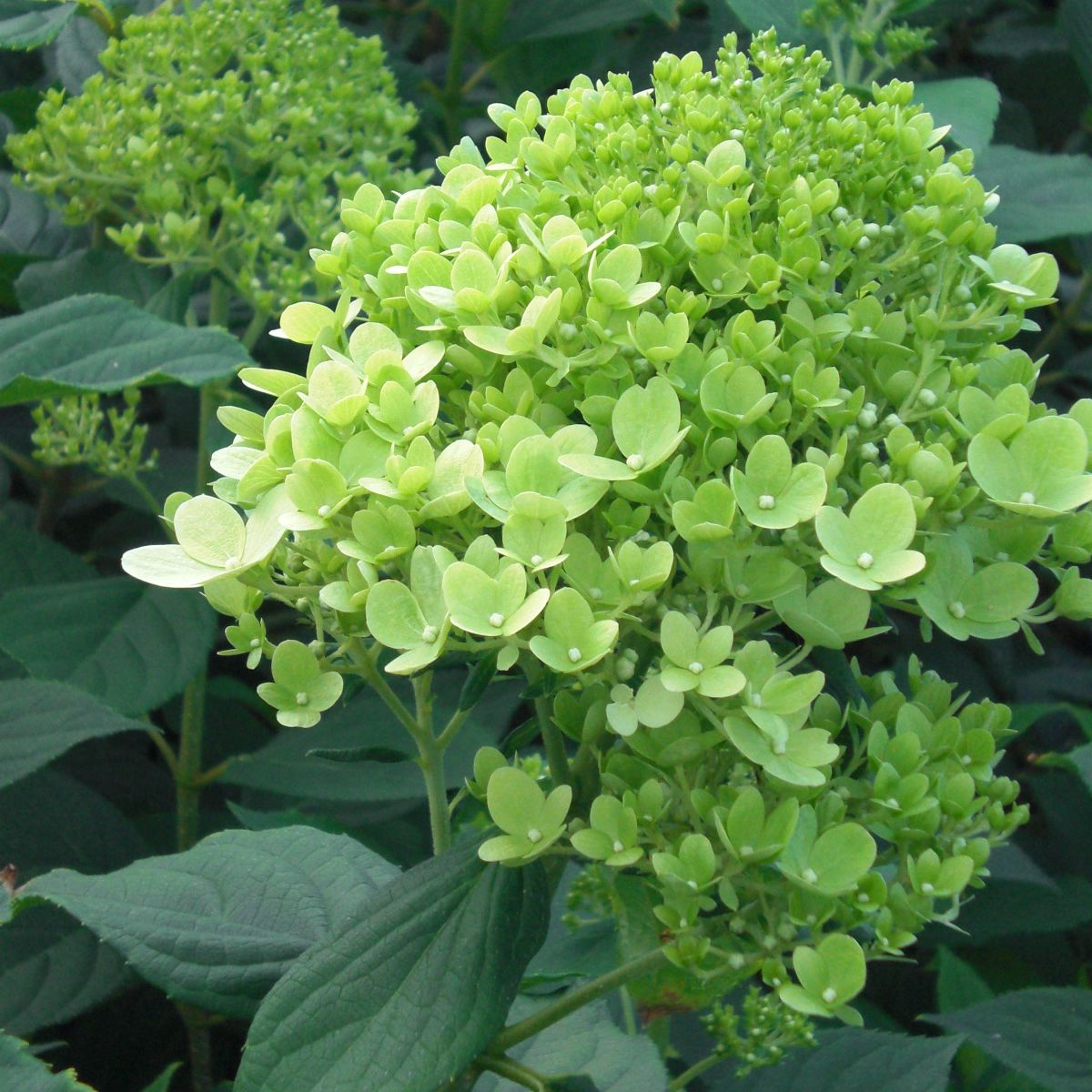 hydrangea paniculata limelight pbr agm. Black Bedroom Furniture Sets. Home Design Ideas