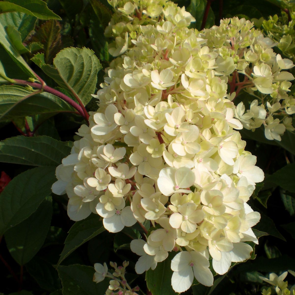 hydrangea paniculata phantom agm. Black Bedroom Furniture Sets. Home Design Ideas