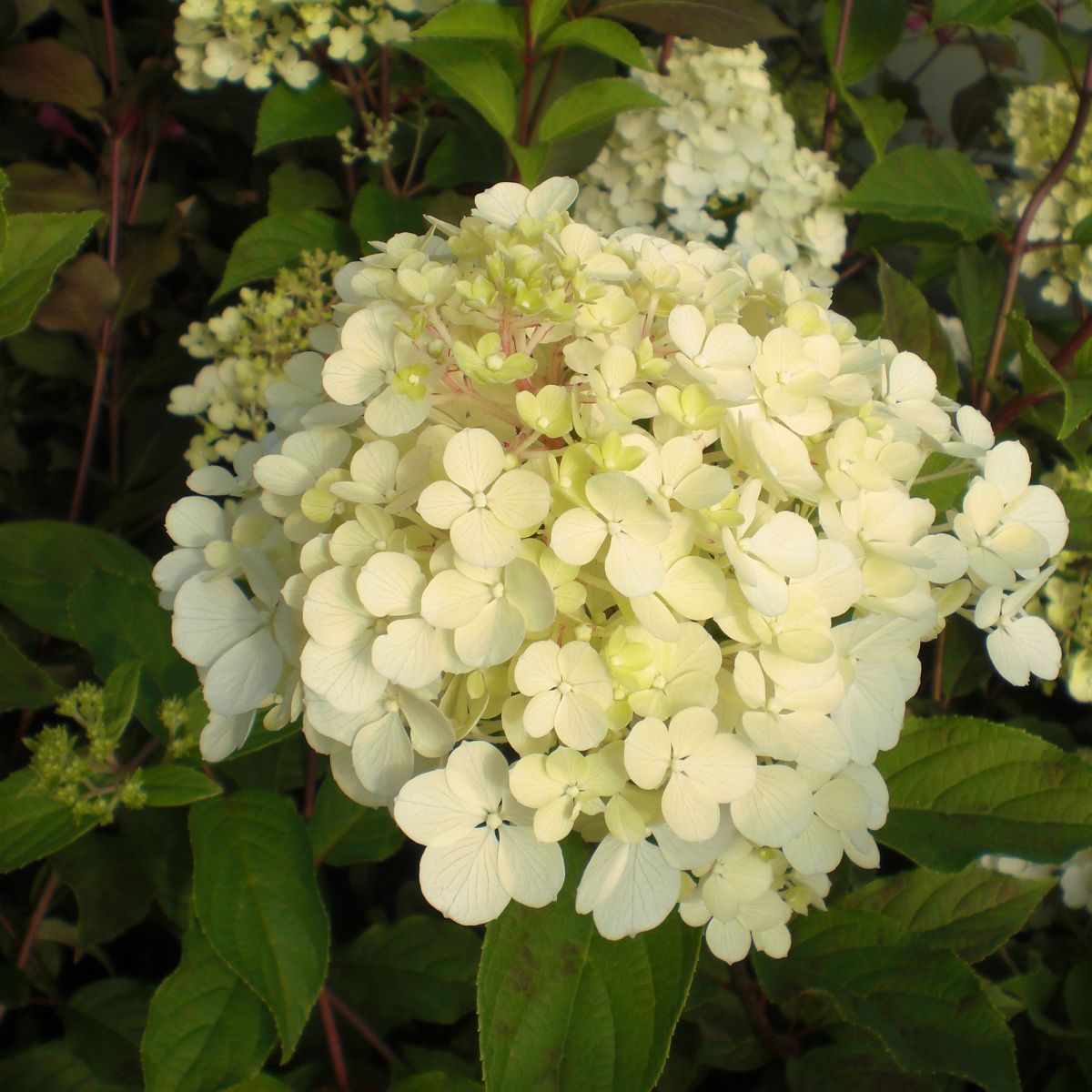hydrangea paniculata vanille fraise renhy pbr. Black Bedroom Furniture Sets. Home Design Ideas