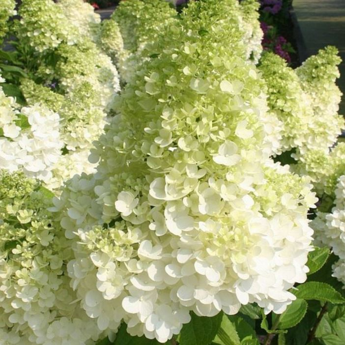 Hydrangea Paniculata Magical Moonlight Kolmagimo Pbr